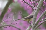 HSNP Promenade  Red Bud Tree Northern Mockingbird