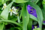 HSNP Promenade Purple Spiderwort & False Garlic