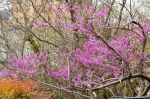 HSNP Tufa Terrace Red Bud Tree