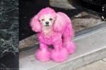 Hot Springs Central Ave Pink Poodle