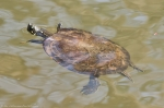 HSNP Fordyce Ricks Pond Turtle