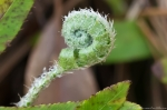 HSNP Sunset Trail Baby Fern Unfurls