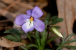 HSNP Sunset Trail Bird Foot Violet