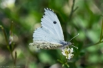 HSNP Sunset Trail Checkered White Butterfly