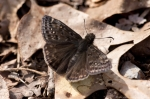 HSNP Sunset Trail Horace's Duskywing Butterfly