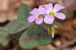 HSNP Sunset Trail Pink Oxalis