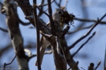 HSNP Sunset Trail nesting Tufted Titmouse