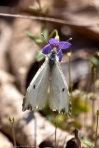 HSNP Sunset Trail Cabbage White Butterfly on Bluet Wildflower