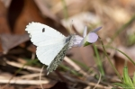 HSNP Sunset Trail Checkered White on Field Pansy