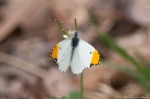 HSNP Sunset Trail White and Orange Moth