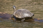 HSNP Ricks Fordyce Pond Turtles
