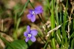 HSNP Ricks Fordyce Pond Wooly Blue Violet