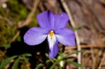 Hot Springs Mountain Trail Bird Foot Violet