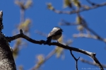 Hot Springs Mountain Trail Carolina Chickadee