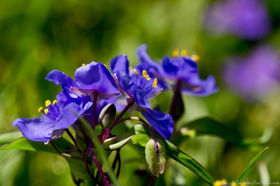 Hot Springs Mountain Trail Purple Spiderwort