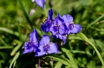 Hot Springs Mountain Trail Purple Spiderwort