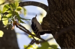 HSNP Floral Trail Male Downy Woodpecker