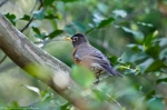HSNP Peak Trail American Robin