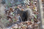 HSNP Peak Trail Squirrel having breakfast