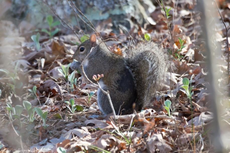 HSNP Peak Trail Squirrel having breakfast