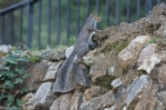 HSNP Tufa Terrace Squirrel climbs above hot water cascade