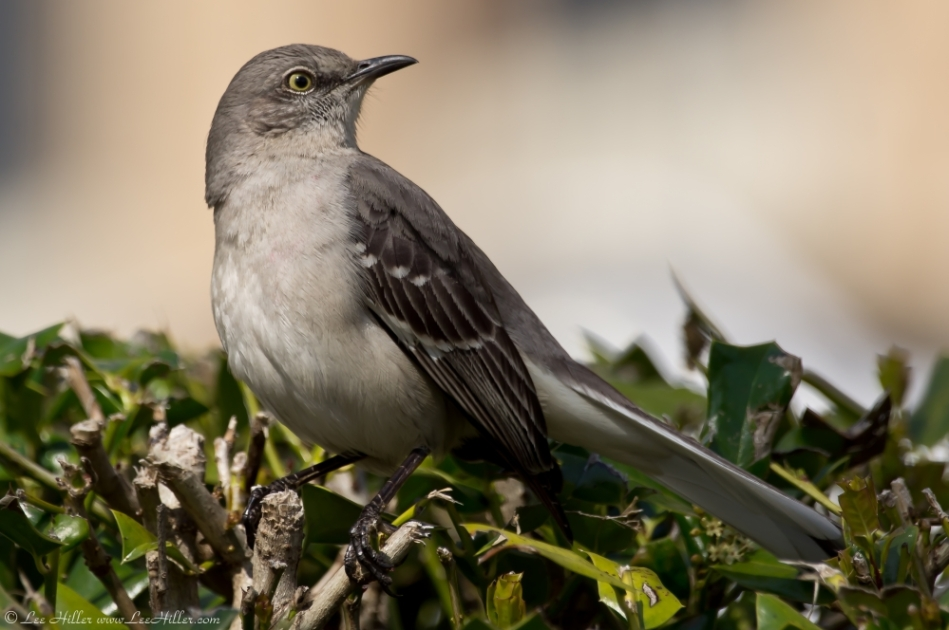 HSNP Promenade Northern Mockingbird Painter