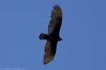HSNP Promenade Turkey Vulture