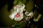 HSNP Promenade Wild Plum Tree Blossoms