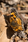 HSNP Tufa Terrace Silvery Checkerspot Butterfly