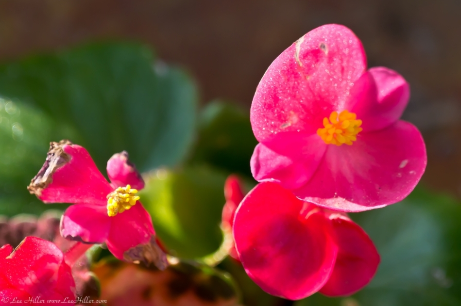 Hot Springs Central Avenue Begonia