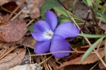 HSNP West Mountain Canyon Trail Bird Foot Violet