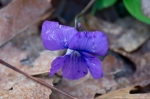 HSNP West Mountain Canyon Trail Wooly Blue Violet
