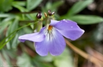 HSNP West Mountain Oak Trail Bird Foot Violet