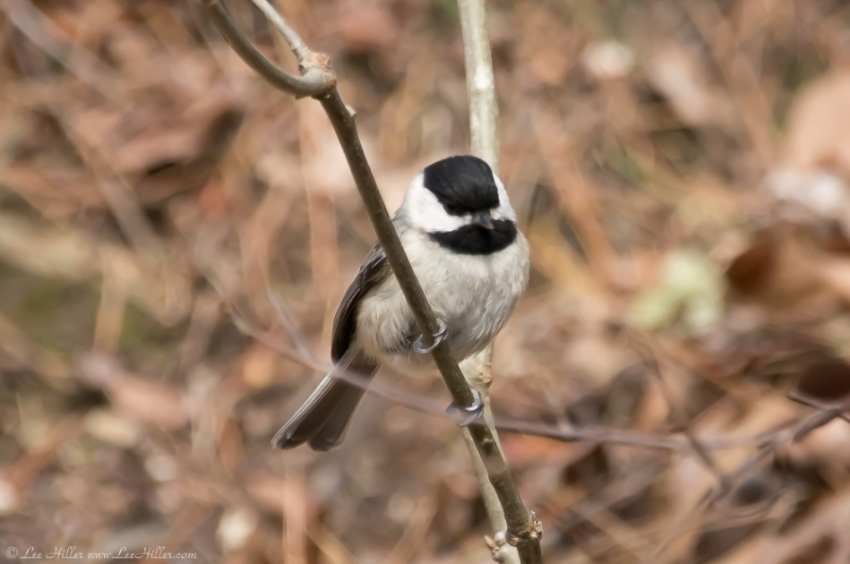 HSNP West Mountain Oak Trail Carolina Chickadee