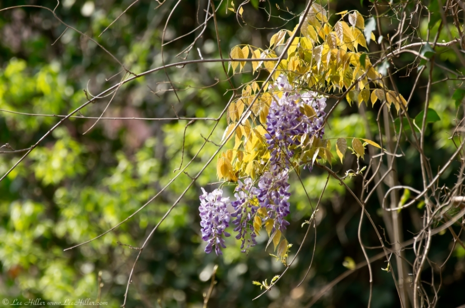 HSNP West Mountain Oak Trail Purple Blossoms
