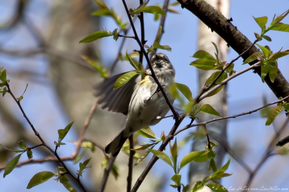 HSNP West Mountain Oak Trail Myrtle Warbler - Yellow-Rumped Warbler
