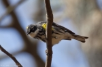 HSNP West Mountain Oak Trail Yellow Rumped Warber