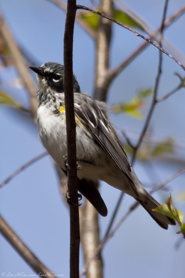 HSNP West Mountain Oak Trail Myrtle Warbler - Yellow-Rumped Warbler