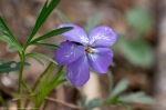 HSNP West Mountain Trail Bird Foot Violet