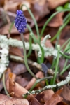 HSNP Fordyce Ricks Pond Grape-Hyacinth