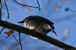 Hot Springs National Park Dead Chief Trail Blue Jay