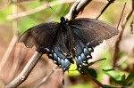 Hot Springs Mountain Trail Black Swallowtail Butterfly