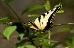 Hot Springs Mountain Trail Yellow Swallowtail Butterfly