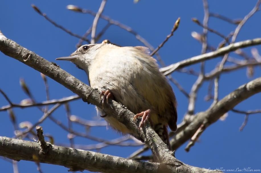 HSNP Promenade Caroline Wren Chick Tiny Singer