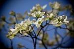 Hot Springs National Park Promenade Dogwood Blossoms