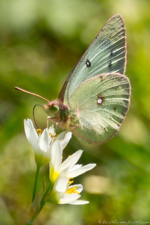 HSNP Promenade Female Clouded Sulphur Butterfly
