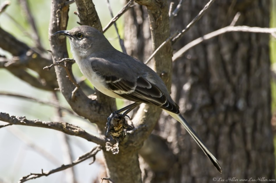 HSNP Promande Northern Mockingbird Hook Beak