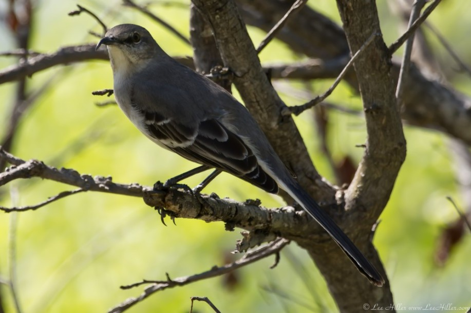 HSNP Promande Northern Mockingbird Hook Beak