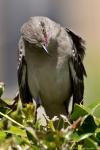HSNP Promenade Northern Mockingbird Singing Painter