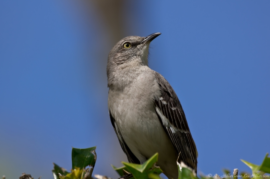 HSNP Promenade Northern Mockingbird Singing Painter